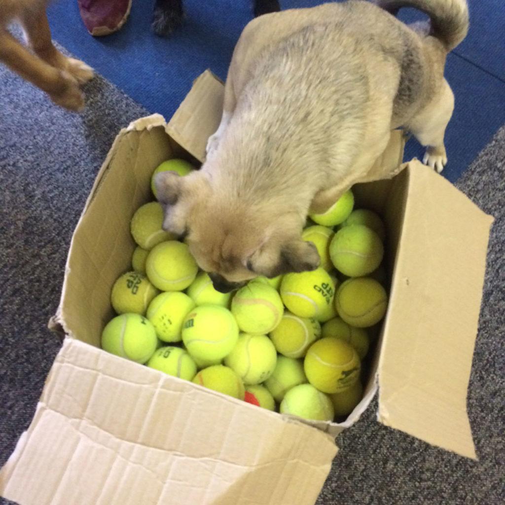 Dogs For Good Enjoying Donated Tennis Balls